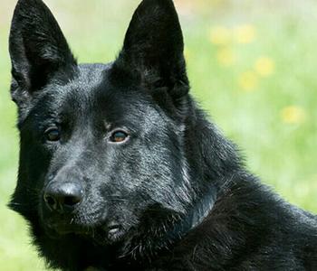 Black German Shepherd Breeder Serious Black German Shepherds