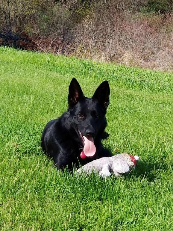 Buy Black German Shepherd Puppy For Sale In Hungary